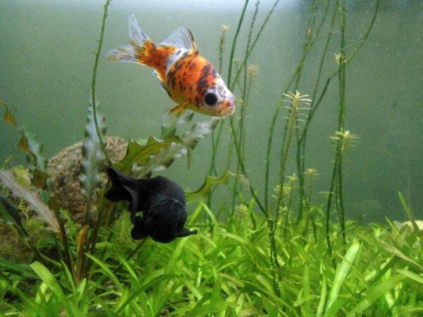 Shubunkin goldfish and black fish at meenalokam aquarium