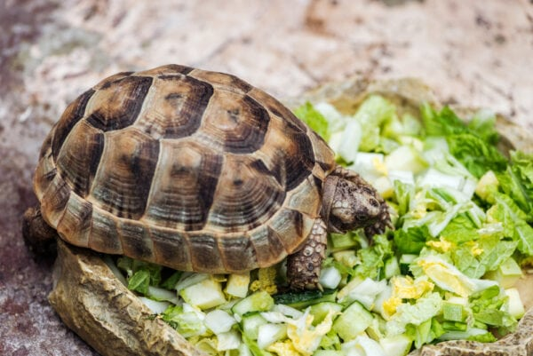 Cute turtle eating fresh chopped green lettuce from stone bowl