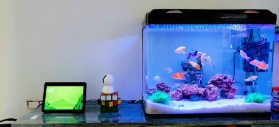 Several fishes inside a betta tank on a table