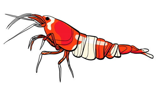 Red Bee Shrimp