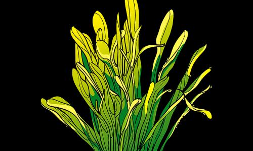 Sagittaria Plant